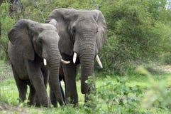 африканский loxodonta слона bush africana Стоковая Фотография RF