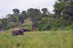 африканский loxodonta слона bush africana Стоковые Изображения RF