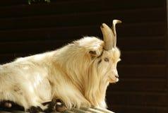 африканский pigmy козочки Стоковое Изображение