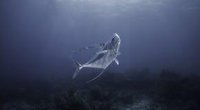 Африканский Pompano в голубой воде Стоковые Изображения RF
