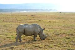 африканский rhinoceros одиночный Стоковые Изображения RF