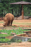 африканский rhinoceros Стоковые Фото