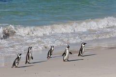 африканский spheniscus пингвина demersus Стоковые Изображения RF