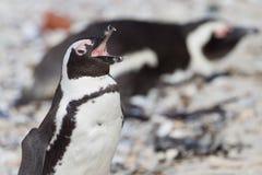 африканский spheniscus пингвина demersus Стоковое Изображение