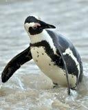 африканский spheniscus пингвина demersus Стоковые Изображения