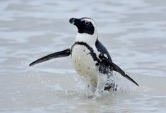 африканский spheniscus пингвина demersus Стоковое Изображение RF