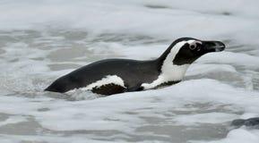 африканский spheniscus пингвина demersus Стоковая Фотография