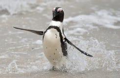 африканский spheniscus пингвина demersus Стоковое фото RF