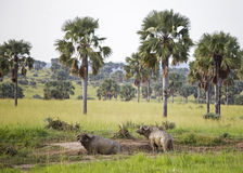 2 африканских буйвола предусматриванного в грязи Стоковое Фото