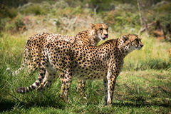 2 африканских гепарда Стоковое Изображение RF