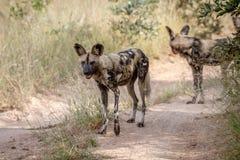 2 африканских дикой собаки стоя на дороге Стоковые Изображения RF