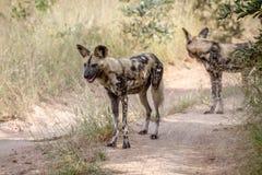 2 африканских дикой собаки стоя на дороге Стоковое Фото