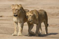 2 африканских женщины льва (пантера leo) Южная Африка Стоковое Изображение RF