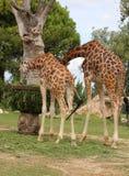 2 африканских жирафа с длинной шеей едят Стоковая Фотография RF