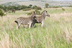 2 африканских зебры на саванне Стоковые Фотографии RF
