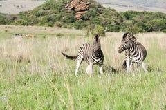 2 африканских зебры на саванне Стоковое Изображение RF