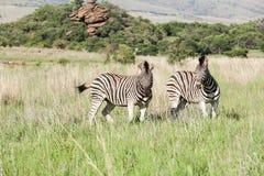 2 африканских зебры на саванне Стоковая Фотография