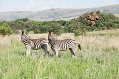 2 африканских зебры на savanah Стоковая Фотография RF