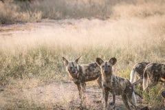 2 африканских дикой собаки в траве Стоковая Фотография