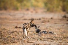 2 африканских дикой собаки в Kruger Стоковые Фотографии RF