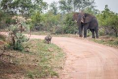 3 африканских дикой собаки играя главные роли на слоне Стоковые Изображения