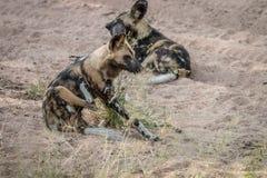 2 африканских дикой собаки кладя в песок Стоковое Изображение