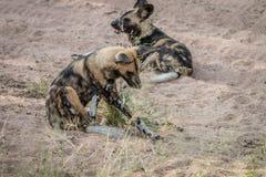 2 африканских дикой собаки кладя в песок Стоковые Фотографии RF