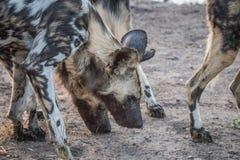 2 африканских дикой собаки обнюхивая от песка Стоковые Фотографии RF