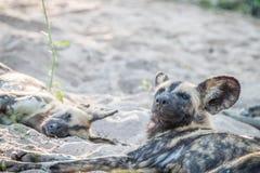 2 африканских дикой собаки ослабляя в песке Стоковое Изображение RF