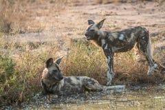 2 африканских дикой собаки отдыхая в воде Стоковая Фотография RF
