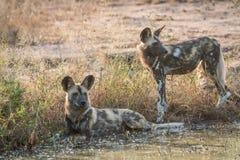 2 африканских дикой собаки отдыхая в воде Стоковое Изображение