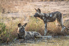 2 африканских дикой собаки отдыхая в воде Стоковые Изображения