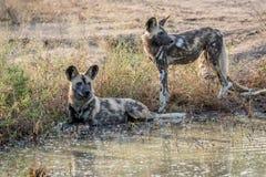 2 африканских дикой собаки рядом с водой Стоковое Изображение RF