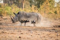 2 африканских дикой собаки с белым носорогом Стоковые Фото