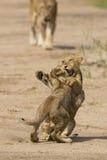 2 африканских новичка льва (пантера leo) в Южной Африке Стоковые Изображения
