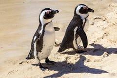 2 африканских пингвина Стоковое Изображение RF