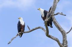 2 африканских рыбы Eagles Стоковые Фотографии RF