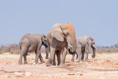 3 африканских слона на waterhole Rateldraf Стоковое Изображение
