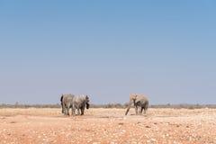 3 африканских слона на waterhole Rateldraf Стоковая Фотография RF