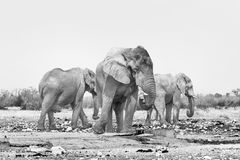 3 африканских слона на waterhole Rateldraf Monochrome p Стоковая Фотография RF
