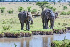 2 африканских слона выпивая от потока Стоковые Фотографии RF