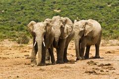 3 африканских слона в горячем солнце полдня Стоковая Фотография