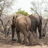 2 африканских слона в кусте Стоковое Фото