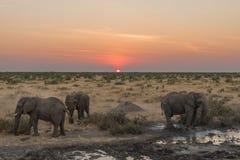 3 африканских слона в сумерк на заходе солнца Стоковая Фотография