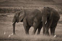 2 африканских слона в sepia Стоковая Фотография