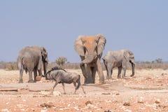3 африканских слона и голубой антилопа гну на wat Rateldraf Стоковые Изображения RF