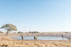 3 африканских слона на waterhole в северной Намибии Стоковые Изображения RF
