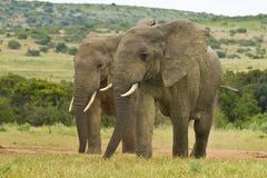 2 африканских слона ослабляя Стоковая Фотография