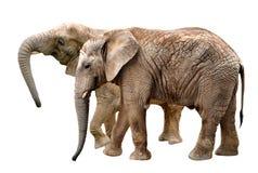 2 африканских слона Стоковые Фотографии RF