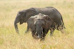 2 африканских слона Стоковые Изображения RF